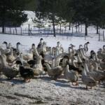 Ferme de Ramon canards sous la neige en 2012